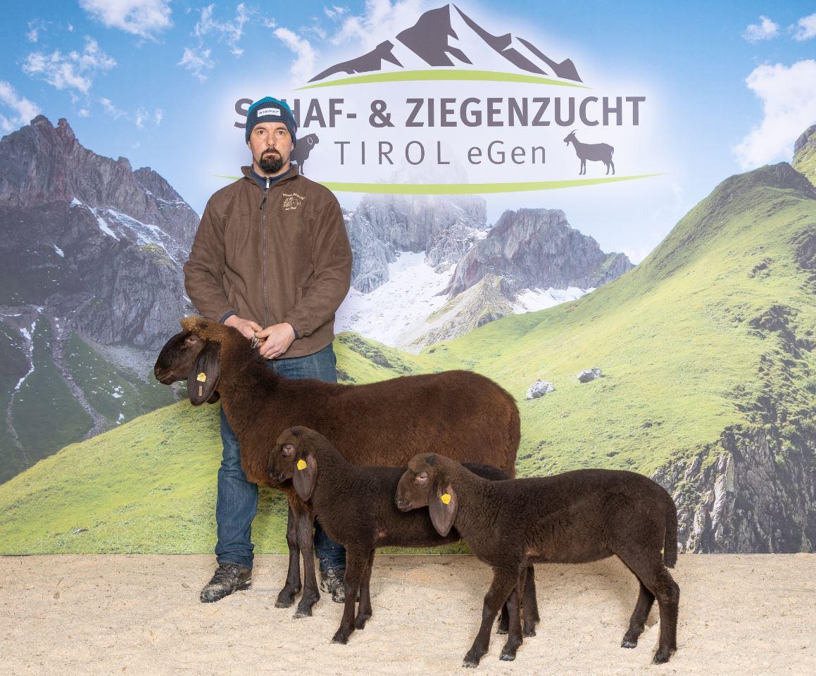 Braunes Bergschaf Tirol
